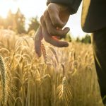 Businessman walking through a golden wheat field reaching down w